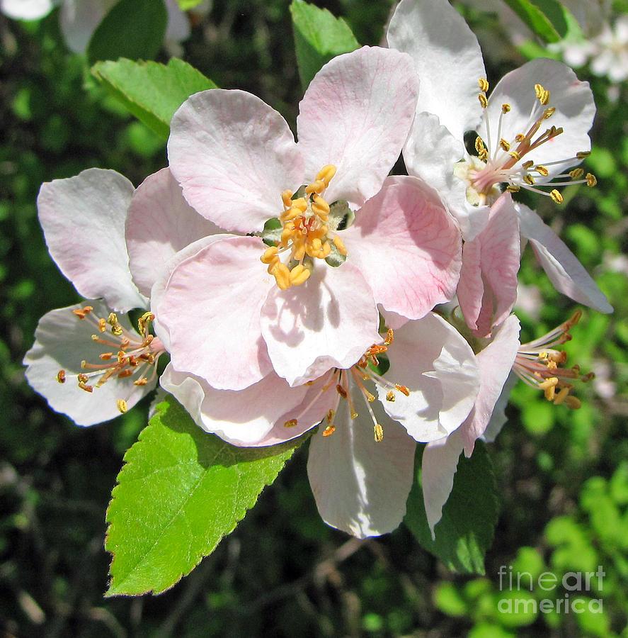 Wild Flowers Photograph - Delicate Pinks 2 by Cedric Hampton