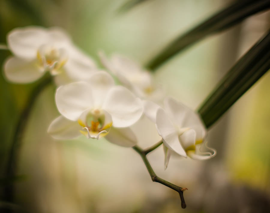Orchid Photograph - Delicate Romance Lace by Mike Reid