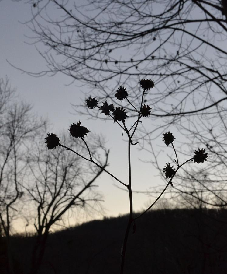 Plant Photograph - Delicate Silhouette by Carlee Ojeda
