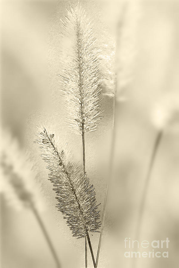 Grass Photograph - Delicate Sweetgrass by Heiko Koehrer-Wagner
