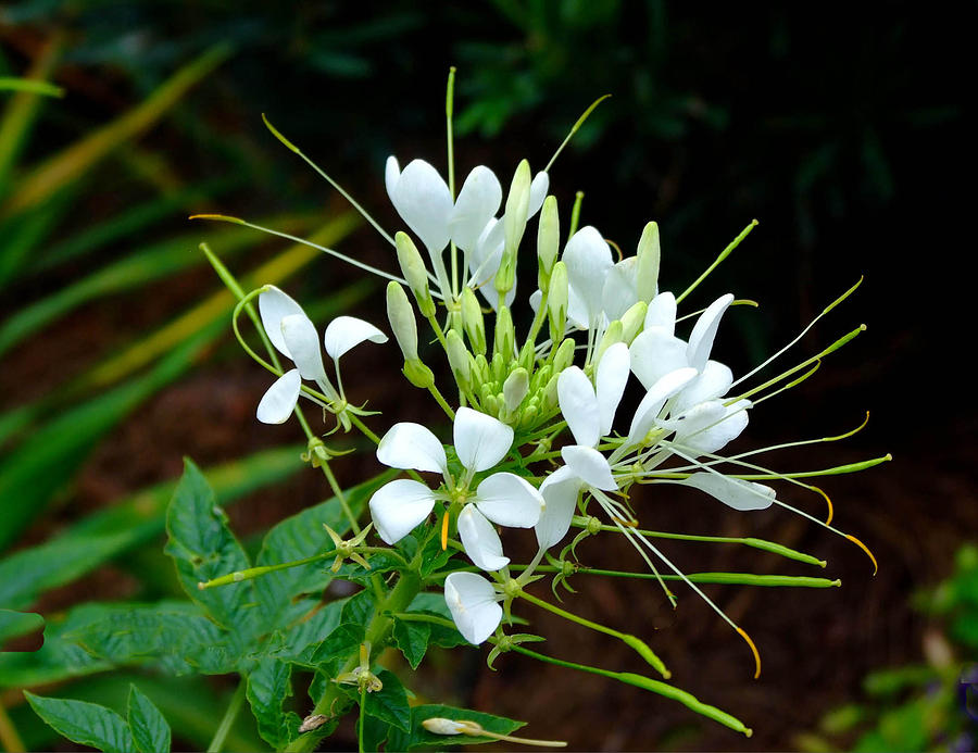 Fauna Photograph - Delicate White Beauty  by Judith Russell-Tooth