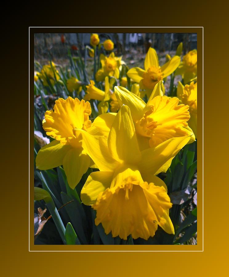Daffodils Photograph - Delightful Daffodils by Patricia Keller