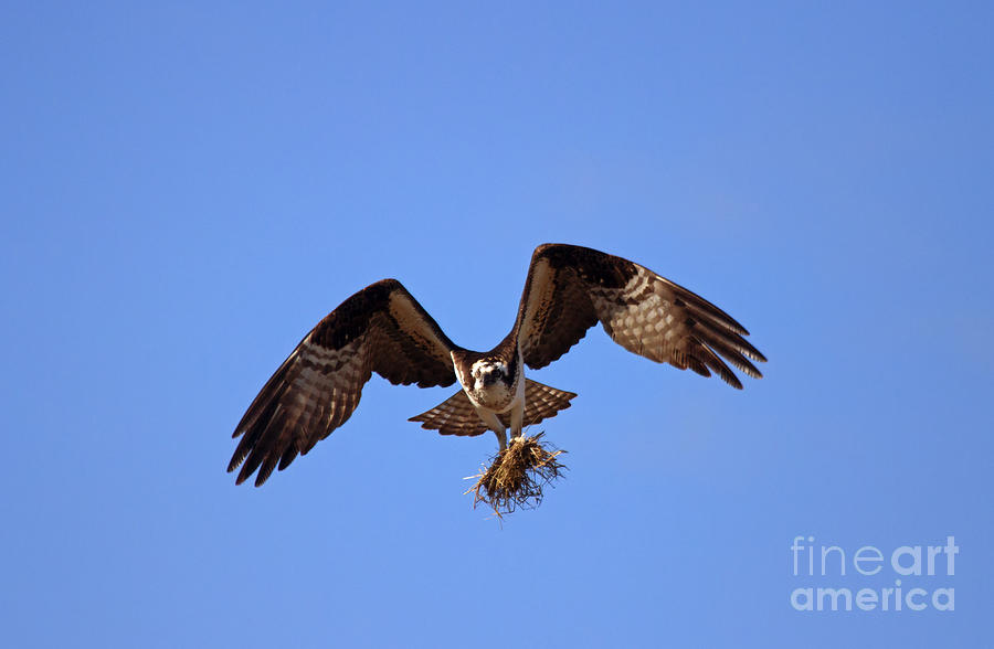 Osprey Photograph - Delivery By Air by Mike  Dawson