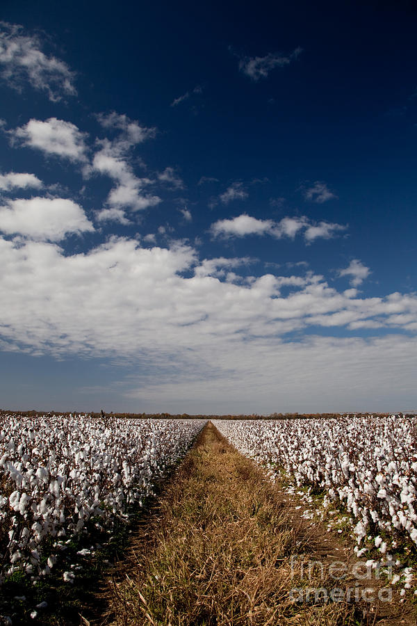 Cotton Photograph - Delta Gold by T Lowry Wilson