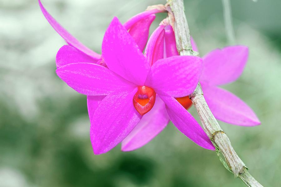 Orchid Photograph - Dendrobium Glomeratum qingyu by Sam K Tran/science Photo Library