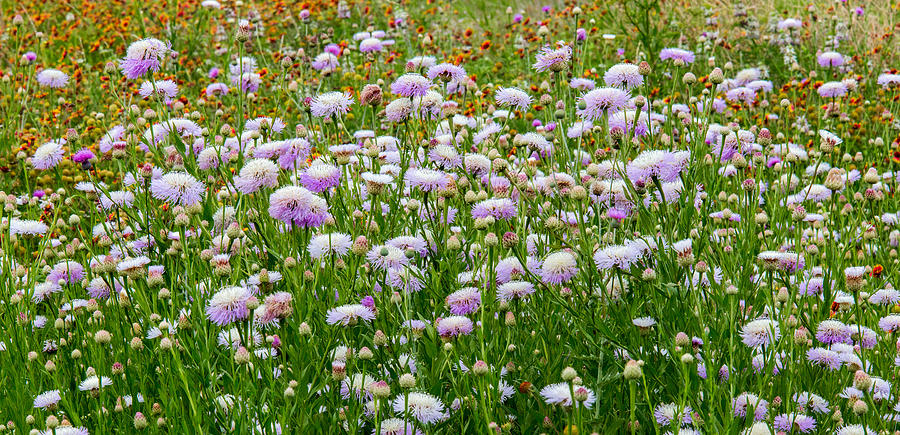 Dense Basket-Flowers and Firewheels by Steven Schwartzman