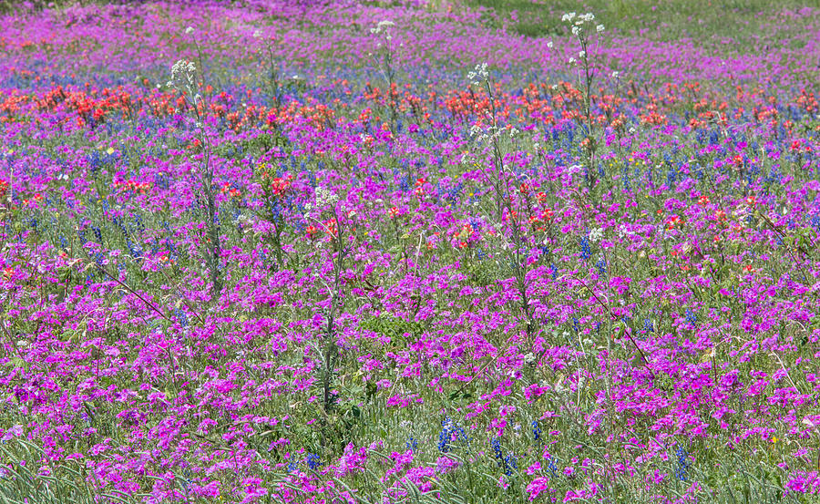 Dense Phlox and Other Wildflowers by Steven Schwartzman