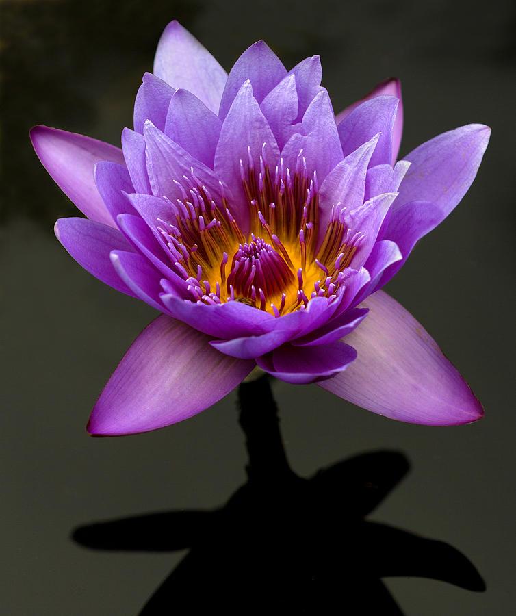 Denver Lily by Robert Pilkington