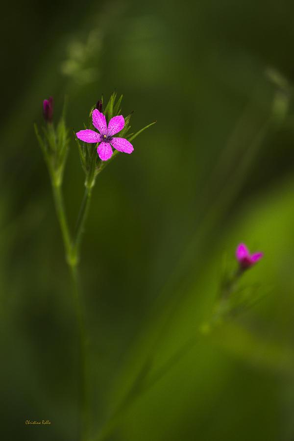 Deptford Pink Photograph - Deptford Pink by Christina Rollo