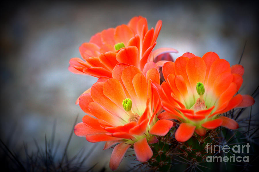 Cactus Photograph - Desert Ablaze  by Ruth Jolly