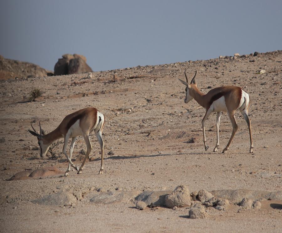 Desert Antelope Photograph