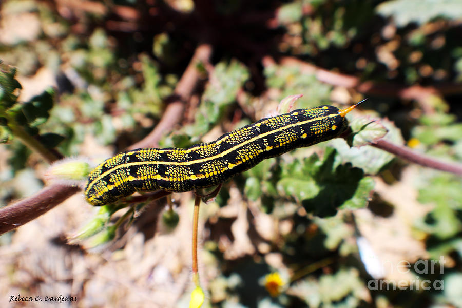 Caterpillar Photograph - Desert Caterpillar by Rebecca Christine Cardenas