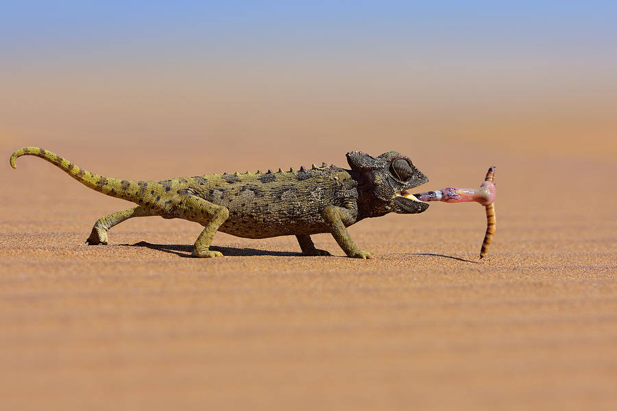 Desert Chameleon Catching A Worm Photograph by Freder