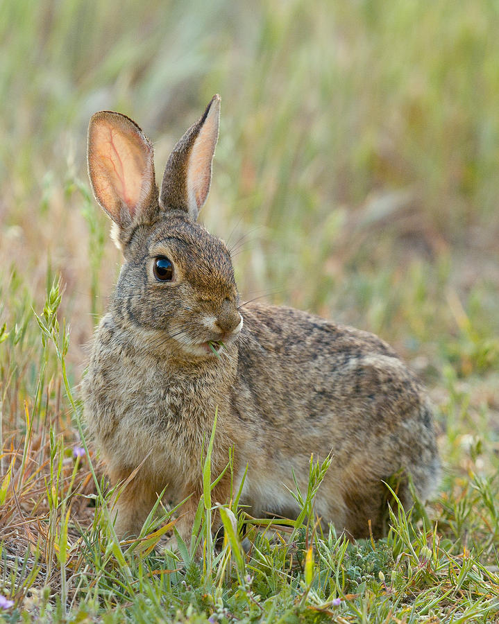 Animals Photograph - Desert Cottontail by Doug Herr