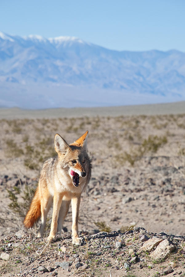 Desert Coyote by Darren Bradley