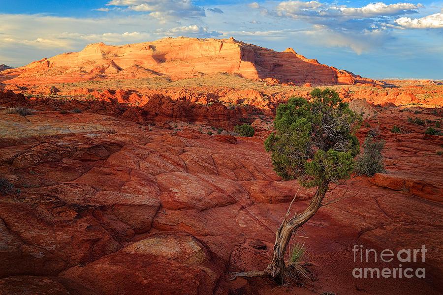 America Photograph - Desert Juniper by Inge Johnsson