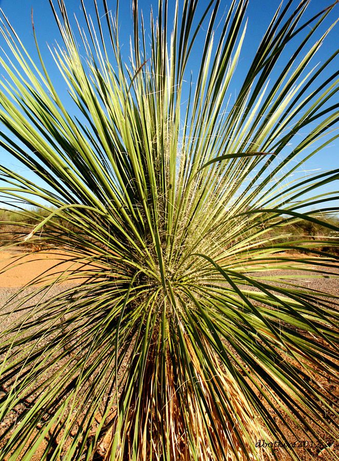 Desert Photograph - Desert Peacock by Dick Botkin