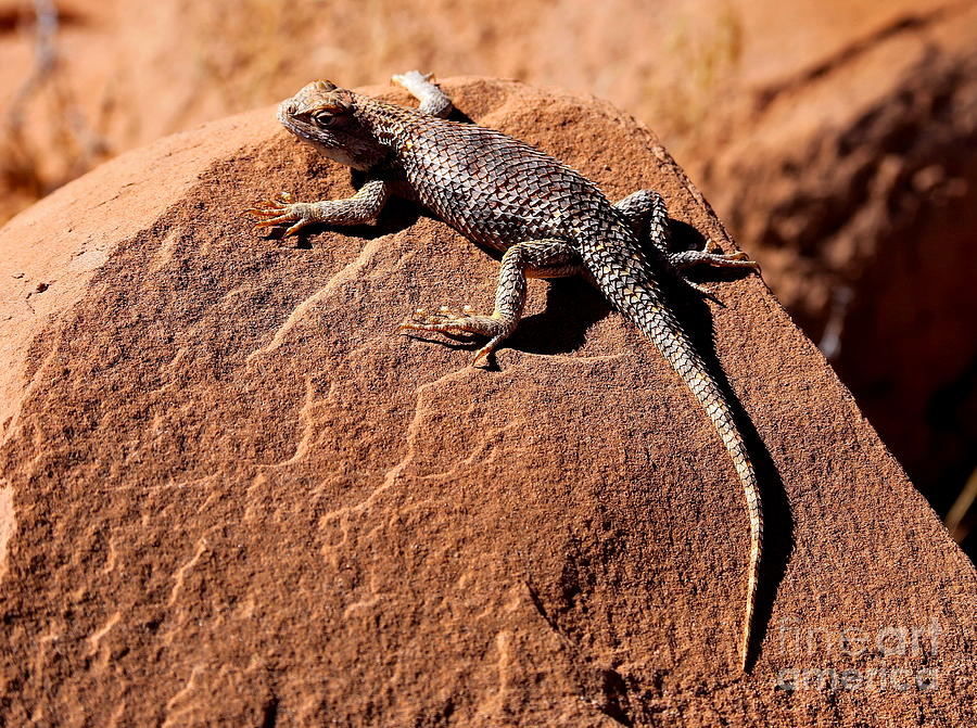Lizard Photograph - Desert Spiny Lizard by Marty Fancy