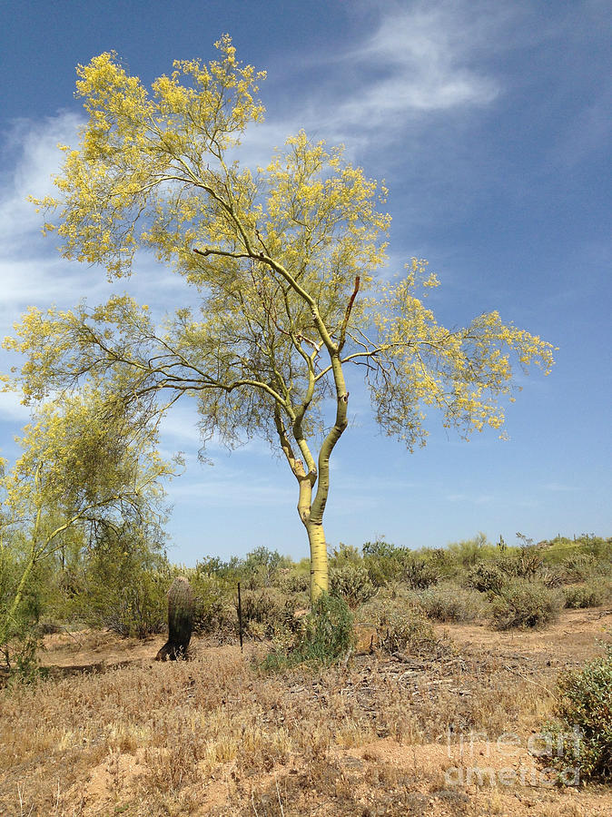 Desert Tree Photograph by Janice Sakry