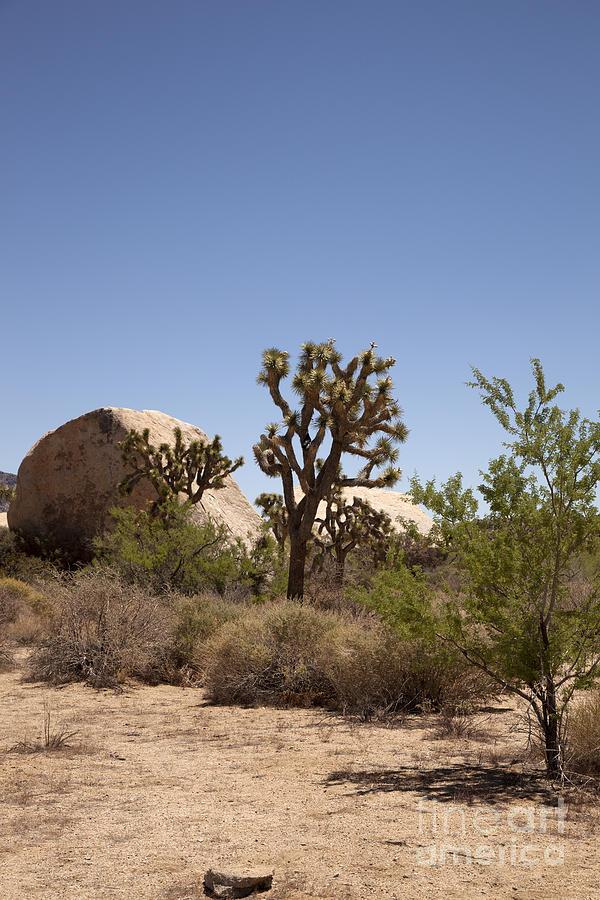 joshua Tree National Park Photograph - Desert Trees by Amanda Barcon