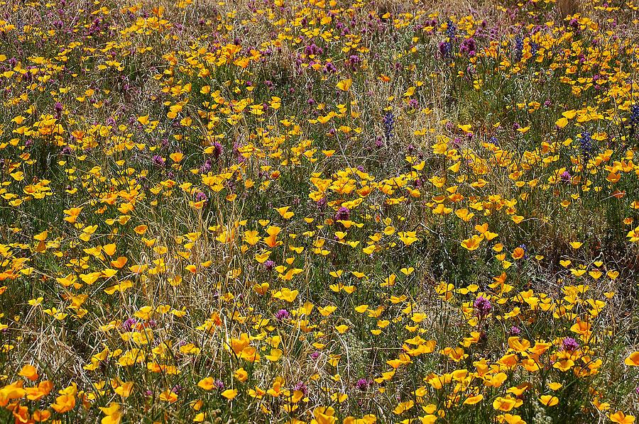 Wildflowers Photograph - Desert Wildflowers by Robert Ashbaugh