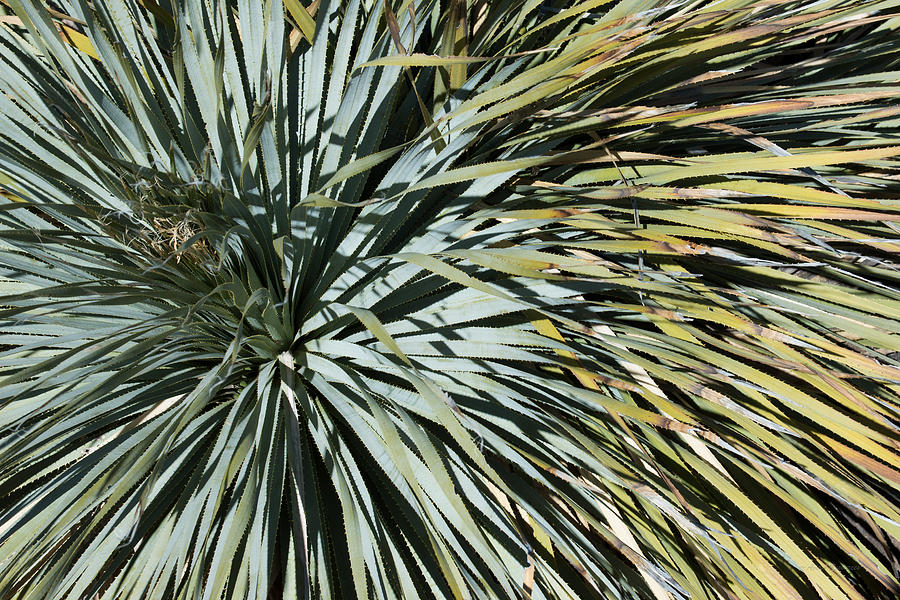 Desert Yucca by Avian Resources