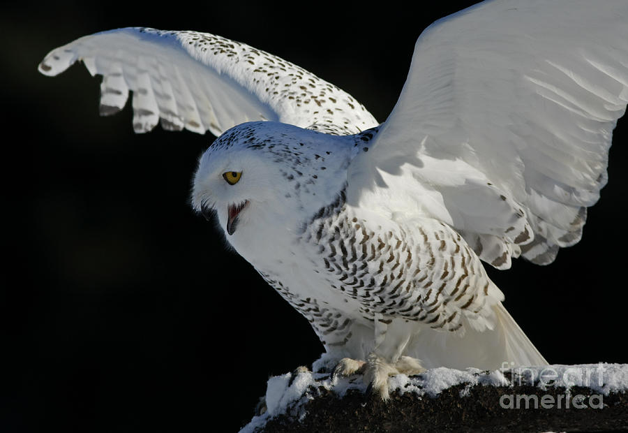 Snowy Photograph - Destinys Journey - Snowy Owl by Inspired Nature Photography Fine Art Photography