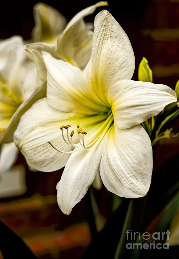 High Dynamic Range Photograph - Detailed Amaryllis by Dave Bosse