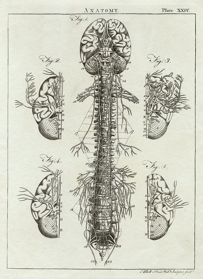 Detailed Diagram Of The Brain Drawing By Mary Evans Picture Library