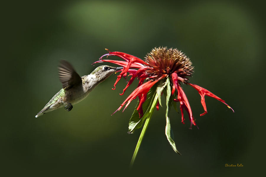 Hummingbird Photograph - Determination by Christina Rollo