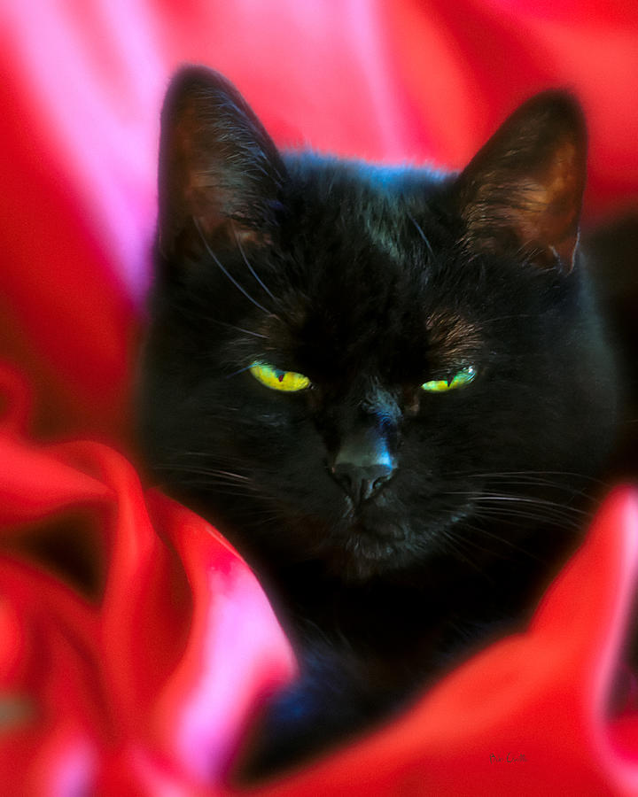 Black Cat Photograph - Devil In A Red Dress by Bob Orsillo