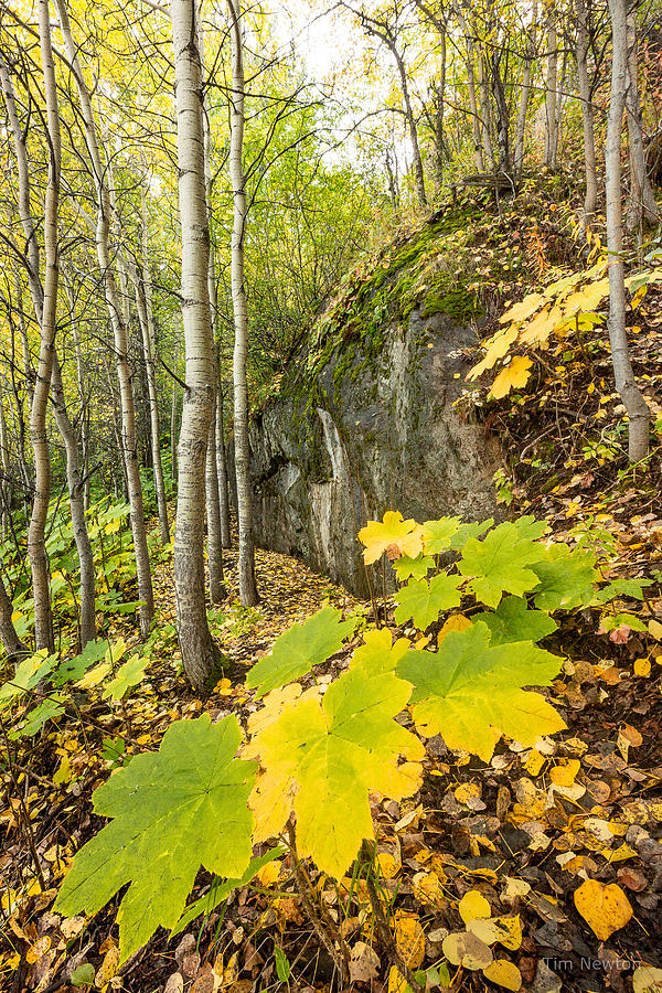 Devil's Club in Autumn by Tim Newton