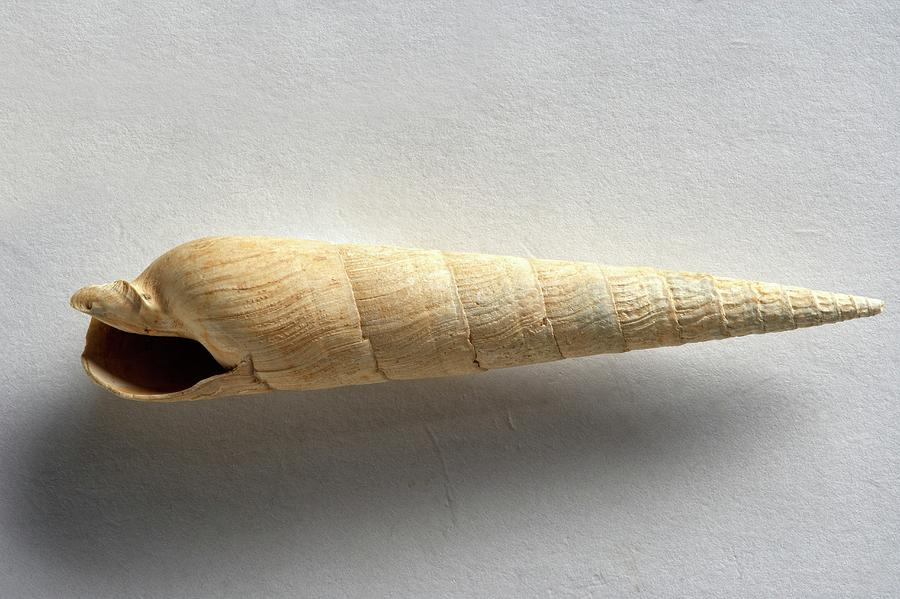 Extinct Photograph - Devonian Terebra Fuscata Fossil by Dorling Kindersley/uig