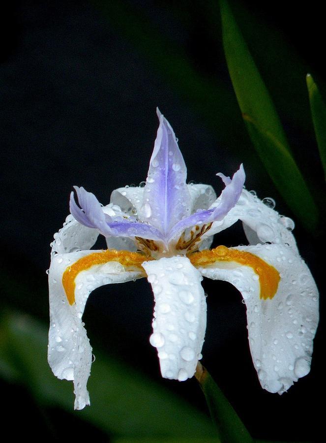 Iris Flower Photograph - Dew Drops by Sandra Sengstock-Miller