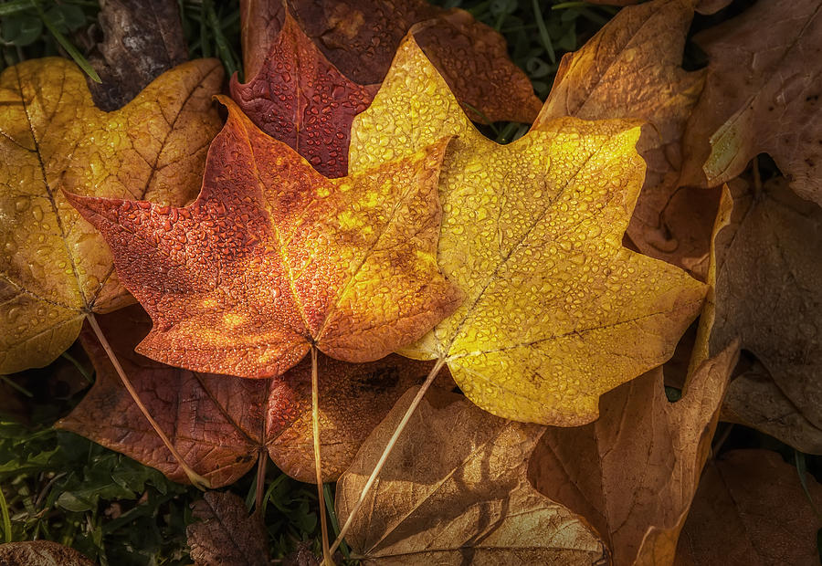 Leaf Photograph - Dew on Autumn Leaves by Scott Norris