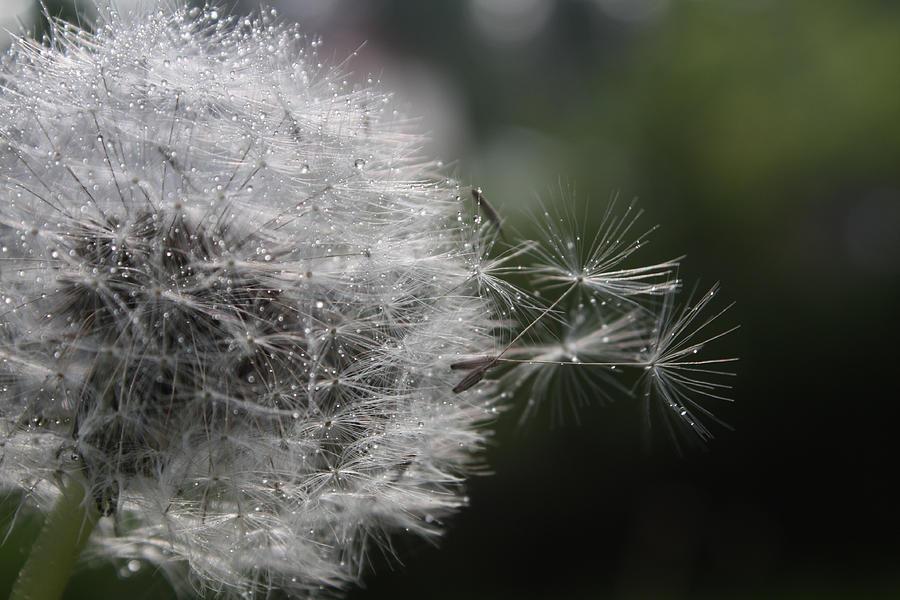Dew Photograph - Dew On Dandelion by Cathie Douglas