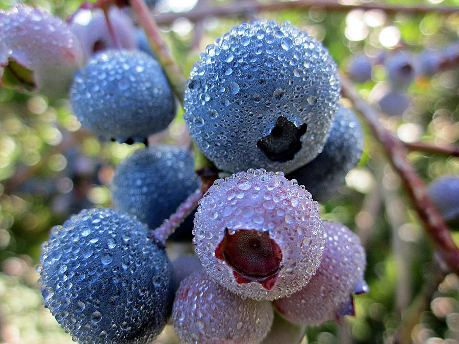 Blueberries Photograph - Dewy Blueberries by MTBobbins Photography