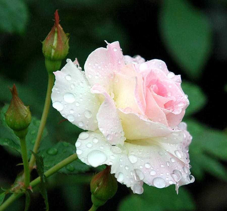 Rose Photograph - Dewy Rose by Paula Marie deBaleau