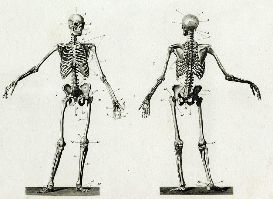 Diagram Of The Human Skeleton Drawing By Mary Evans Picture Library