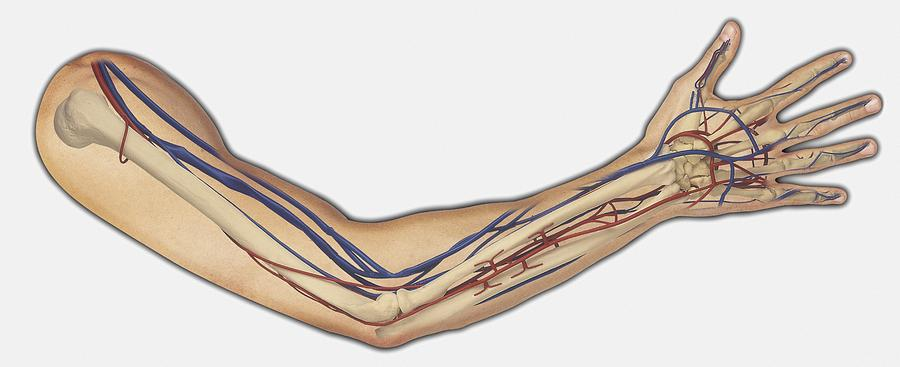 diagram showing bones, veins and arteries in a human arm and hand  drawing  by