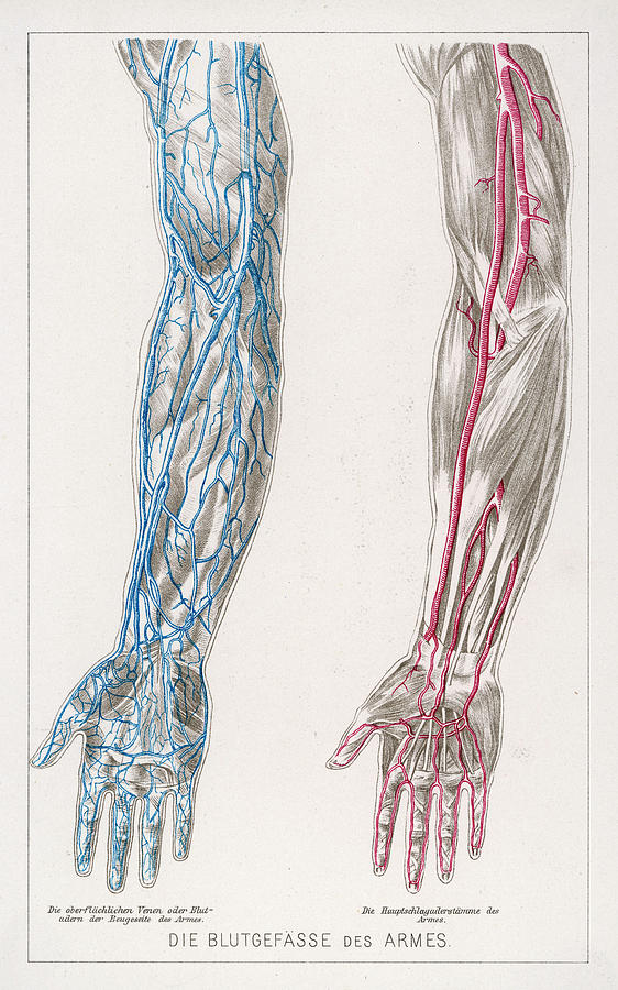 Diagram To Show The Network Of Veins Drawing By Mary Evans