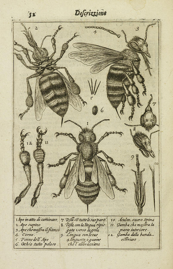 Diagrams Showing The Anatomy Of A Bee by British Library