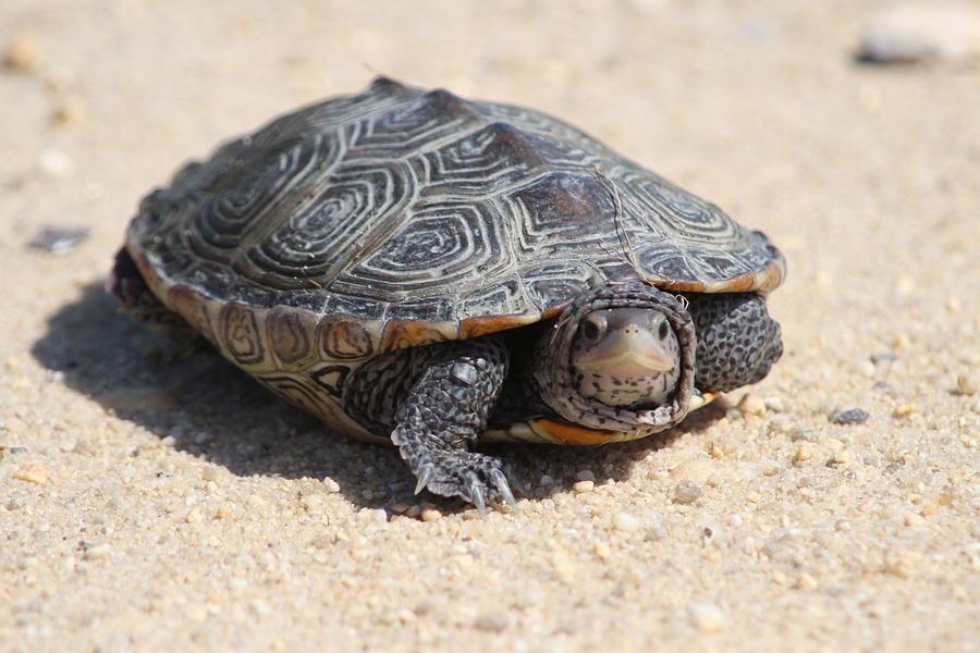 Diamondback Terrapin Turtle Photograph - Diamondback Terrapin Turtle by Diane Rada