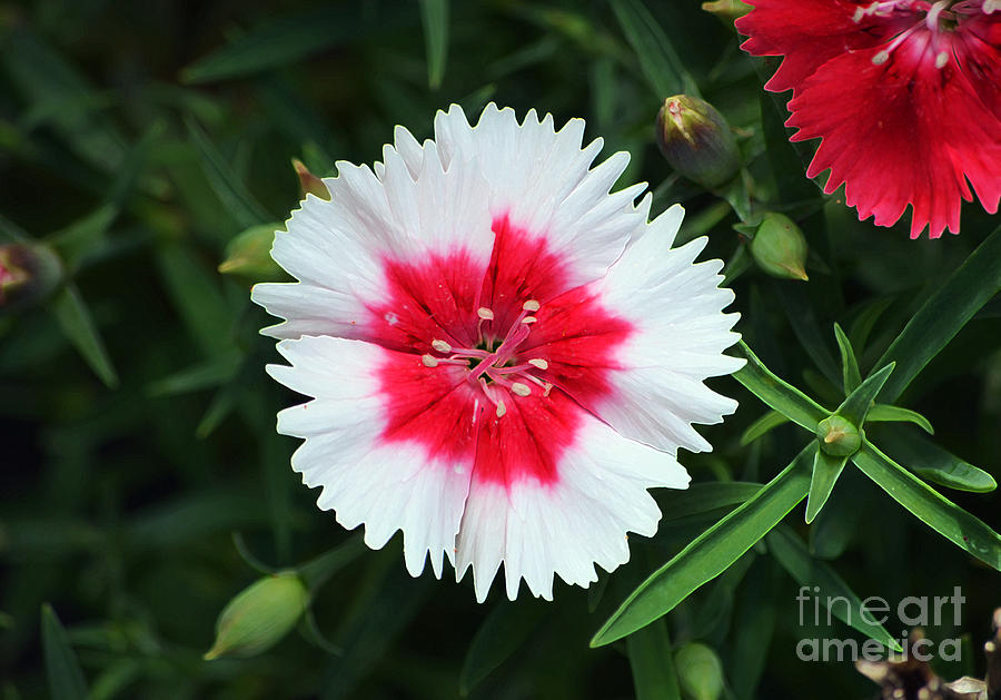 Dianthus red and white flower decor macro accented edges digital art dianthus digital art dianthus red and white flower decor macro accented edges digital art by mightylinksfo