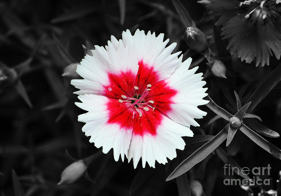 Dianthus photograph dianthus red and white flower decor macro color splash black and white digital