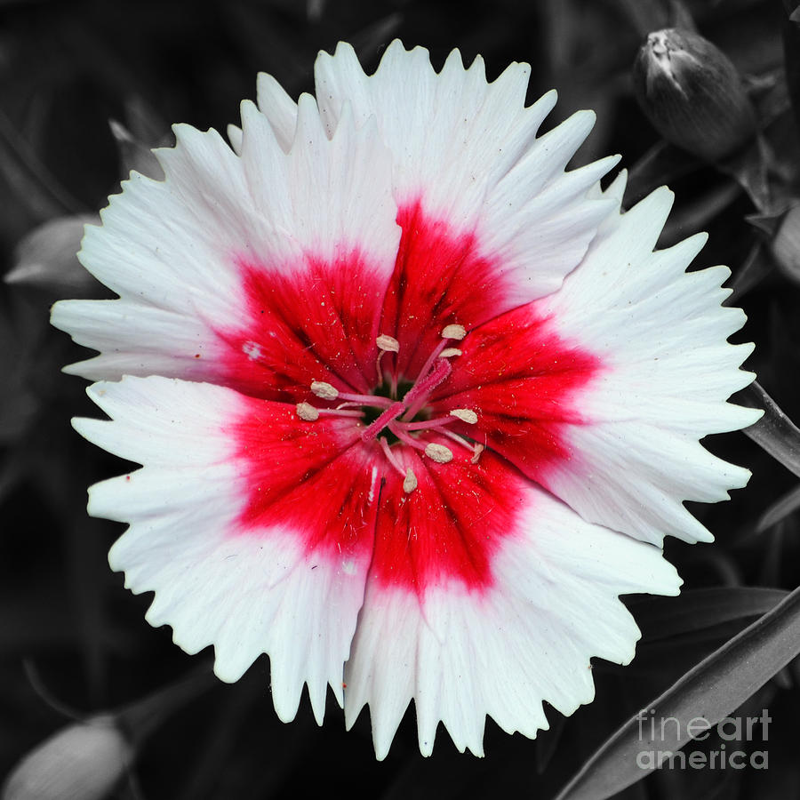 Dianthus Red And White Flower Decor Macro Square Format Color Splash