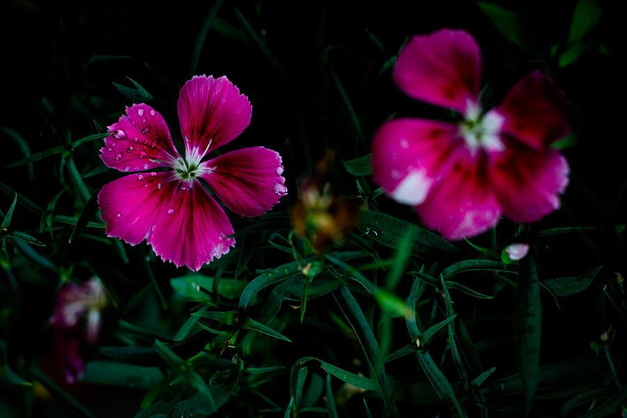 Dianthus Photograph - Dianthus Singapore Flower by Donald Chen