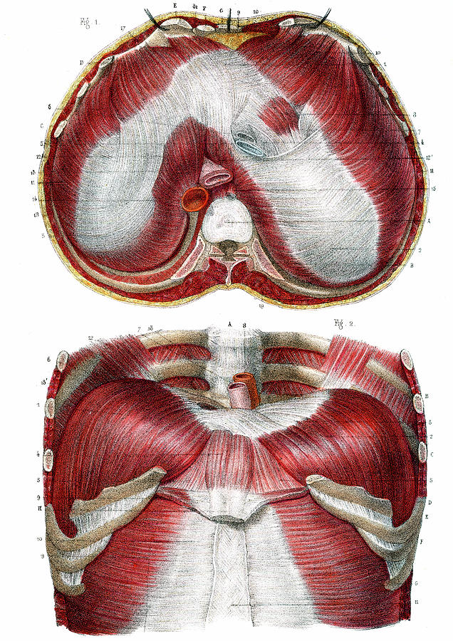 Diaphragm Anatomy Photograph By Collection Abecasis