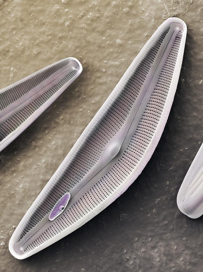 Alga Photograph - Diatom Frustules (sem) by Science Photo Library