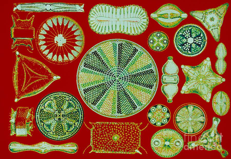 Diatom Photograph - Diatoms-ernst Haeckel by Scott Camazine